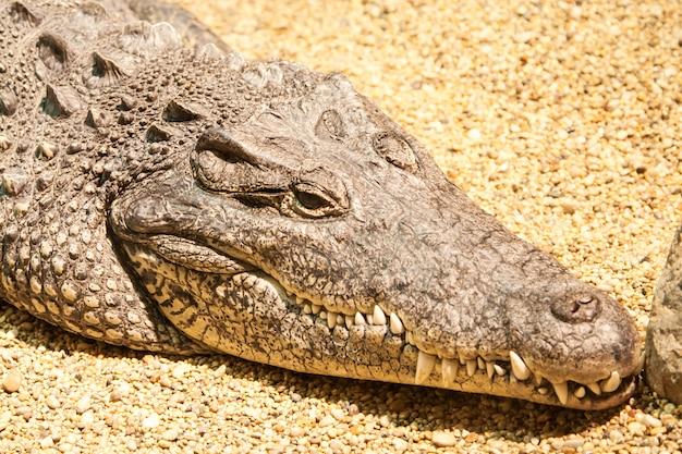 Głowy duży brązowy krokodyl na żółtym piasku