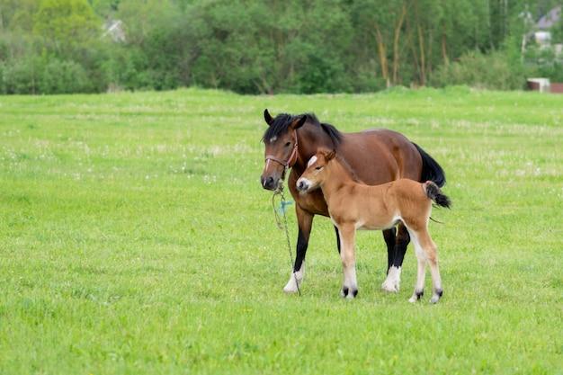 Gniady koń ze źrebakiem w polu na pastwisku. zdjęcie wysokiej jakości