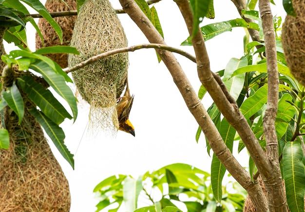 Gniazdo budowania ptaków