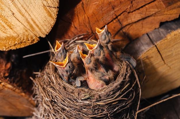 Gniazdo drozda. ptasie gniazdo w drewutni. kos nowonarodzonych piskląt. głodne pisklęta podnoszą wzrok, otwierają dzioby i płaczą.