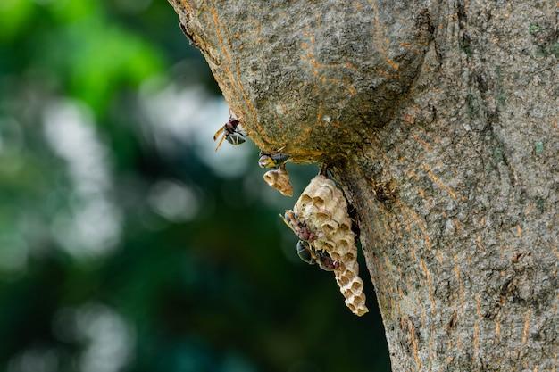 Gniazdo osy na drzewie