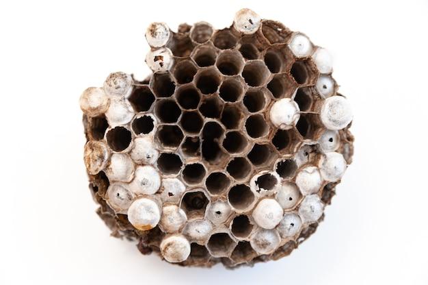 Gniazdo osy z larwami na białym tle