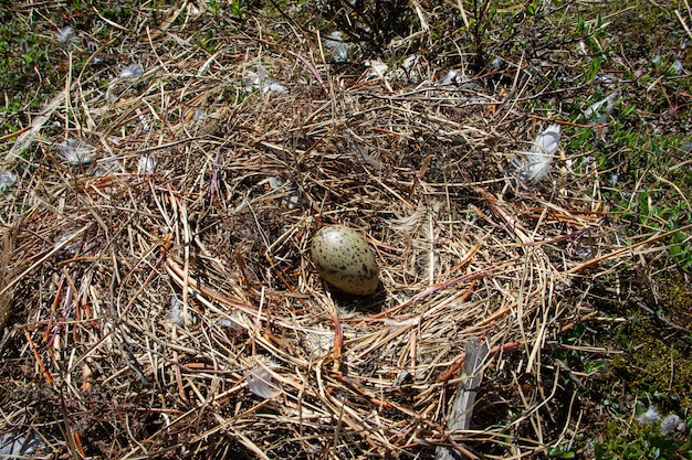 Gniazdo sieweczki półpalmowanej z jednym jajkiem otoczonym małymi gałązkami