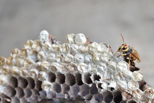 Gniazdo szerszenia z larwą. gniazdo osy z larwą.