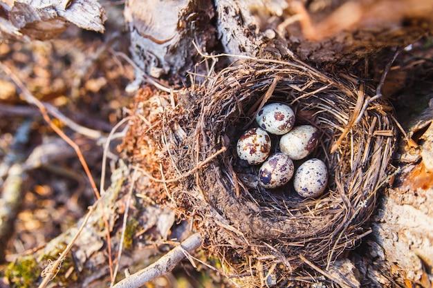 Gniazdo z jajami ptaków w wiosennym lesie