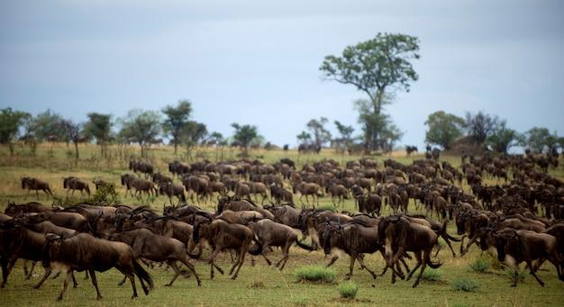 Gnu bieganie, serengeti national park, serengeti, tanzania, afryka