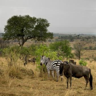 Gnu i zebra w krajobrazie, park narodowy serengeti, serengeti, tanzania, afryka