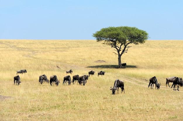 Gnu na sawannie, park narodowy kenii, afryka