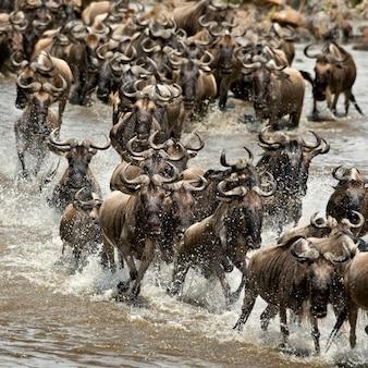 Gnu, przekraczanie rzeki mara, park narodowy serengeti, serengeti, tanzania, afryka