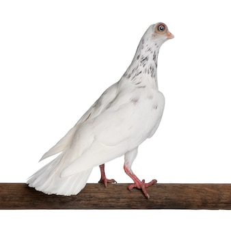 Gołąb budapest highflier siedzący na patyku