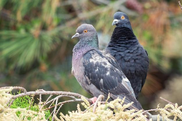Gołąb. dwa gołębie siedzące na gałęzi drzew iglastych.