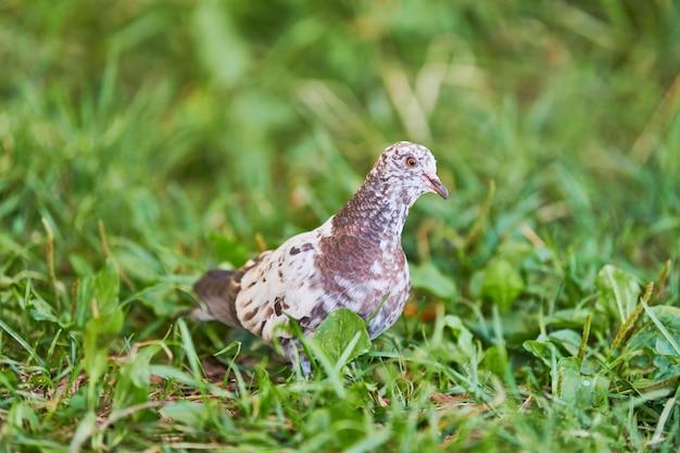 Gołąb na trawie. mały gołąb szuka karmienia. kolor piór wielobarwnych - biały, czarny i brązowy