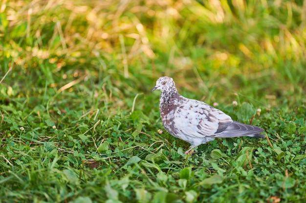 Gołąb na trawie szuka pożywienia
