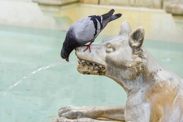 Gołąb pijący od wilka na głównym placu siennej