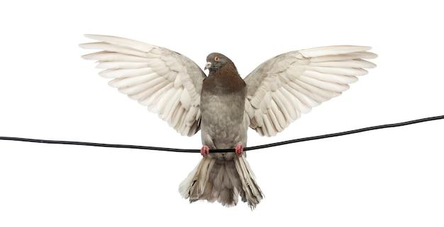 Gołąb przysiadł na przewodzie elektrycznym z rozpostartymi skrzydłami przed białą przestrzenią