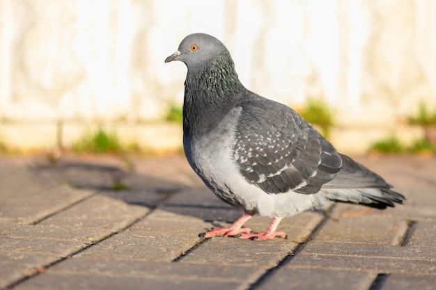 Gołąb ptak stojący na chodniku w parku miejskim. zamknąć widok