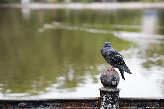 Gołąb siedzi na żelaznym płocie naprzeciwko jeziora w parku