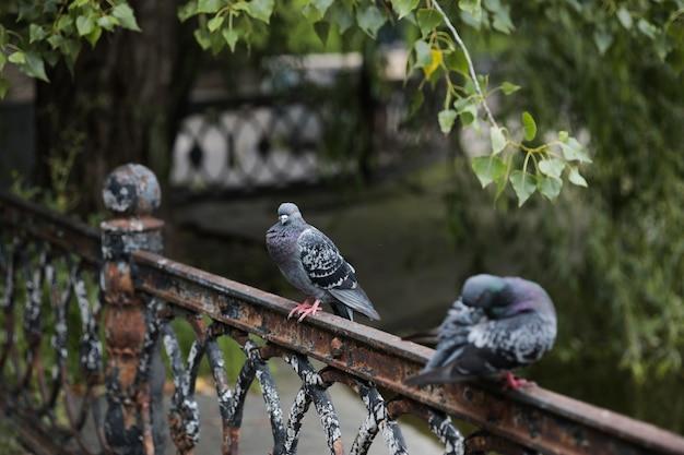 Gołąb siedzi na żelaznym płocie pod drzewem między dwoma ptakami