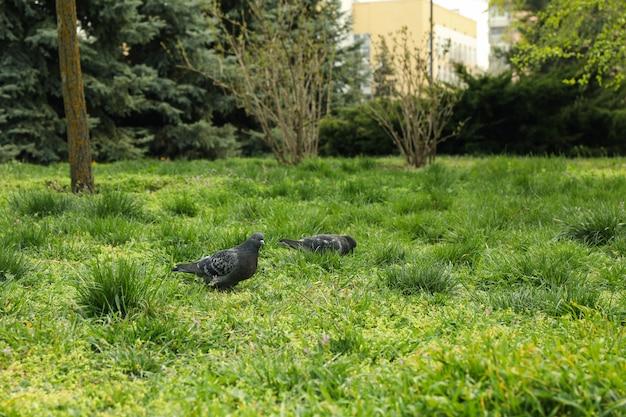 Gołąbki odprowadzenie na zielonej trawie w parku. wiosna