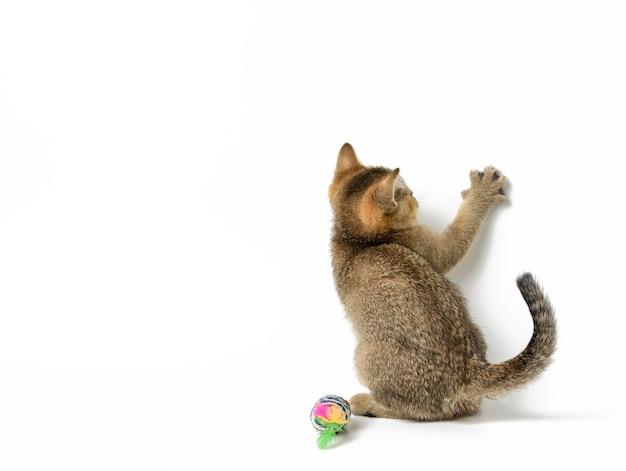 Gold ticked kitten szynszyla brytyjska prosto siedząc na białym tle, łapa przednia uniesiona, kopia przestrzeń