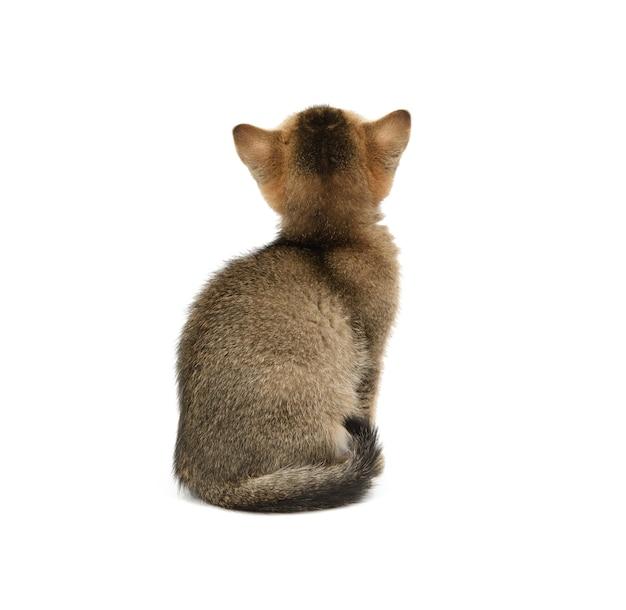 Gold ticked kitten szynszyla brytyjska prosto siedzi z powrotem na białym tle na białym tle