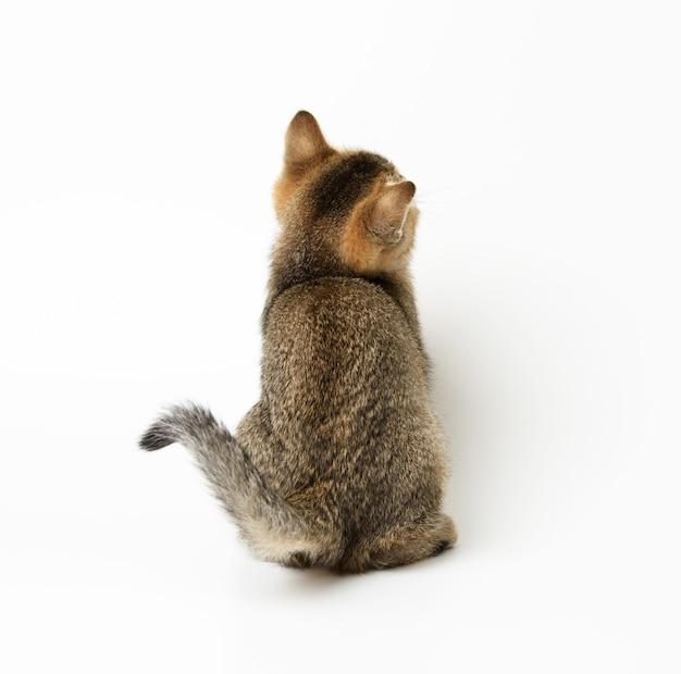 Gold ticked kitten szynszyla szkocka prosto siedząc z powrotem na białym tle, z bliska