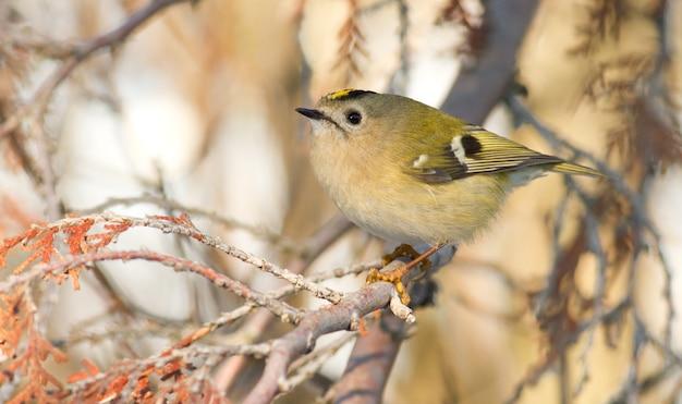 Goldcrest, regulus regulus. najmniejszy ptak eurazji