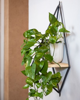 Golden pothos, devil's ivy, epipremnum aureum roślina na ścianie