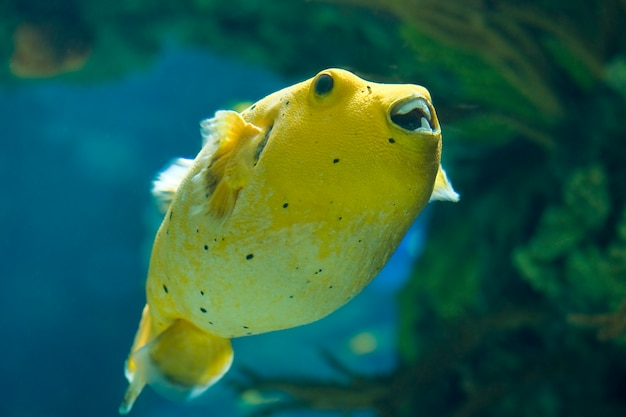 Golden pufferfish
