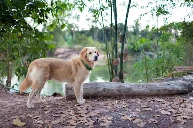 Golden retrieve spaceru po lesie z drewna
