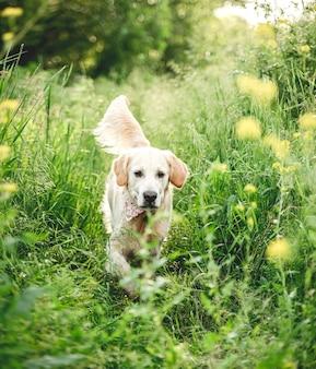 Golden retriever biegający po kwitnącej łące