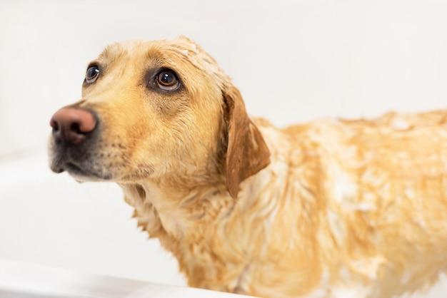 Golden retriever boi się wziąć kąpiel. smutny wyraz.