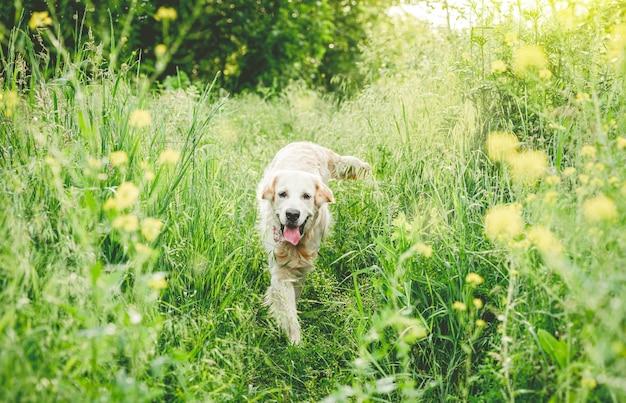 Golden retriever działa na kwitnącej łące