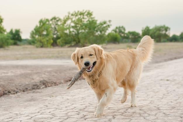 Golden retriever gra odkryty z drewnianym kijem