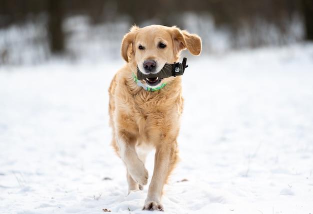 Golden retriever pies bawi się na zewnątrz