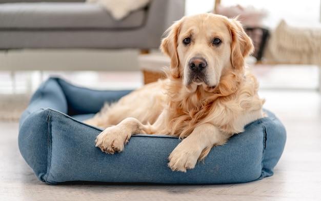 Golden retriever pies bawiący się w domu zabawką w kształcie kółka