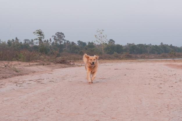 Golden retriever pies działa na zewnątrz