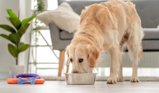 Golden retriever pies jedzenie z miski zainstalowanej na podłodze w pobliżu sofy w domu