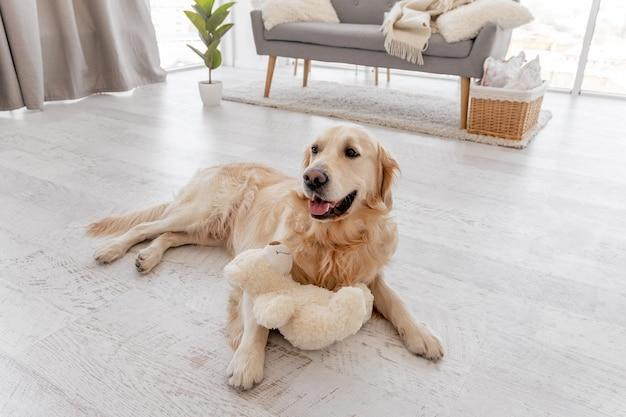 Golden retriever pies leżący na podłodze w domu z beżową zabawką pluszowego misia