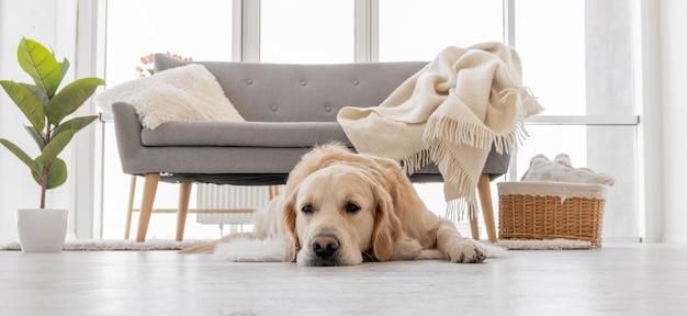Golden retriever pies leżący na podłodze w jasnym pokoju z kanapą i oknem na powierzchni