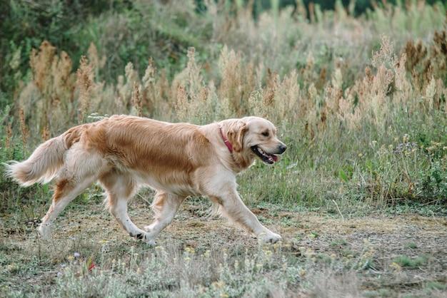 Golden retriever pies leży na trawie