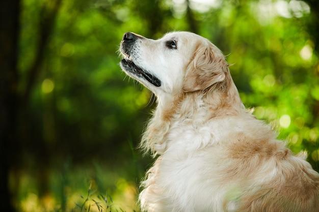 Golden retriever pies na zielonej trawie