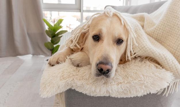 Golden retriever pies przykryty kremowym białym kocem leżącym na kanapie w domu