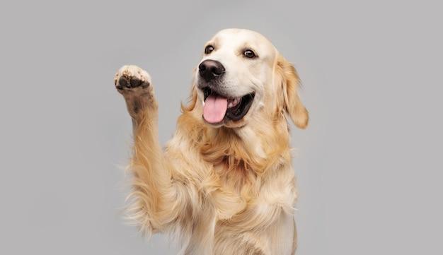 Golden retriever pies robi sztuczkę łapą na szaro