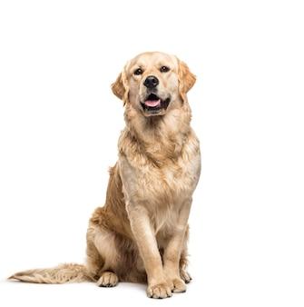 Golden retriever pies siedzi i dyszy