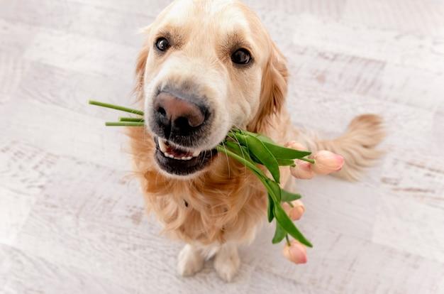 Golden retriever pies siedzi na podłodze i trzyma bukiet tulipanów na zębach