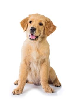Golden retriever pies siedzi na podłodze, na białym tle