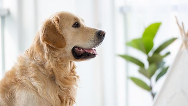 Golden retriever pies siedzi w pokoju przy świetle dziennym blisko okna i spogląda za siebie rasowe zwierzę...