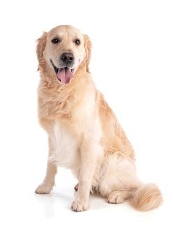 Golden retriever pies siedzi z niecierpliwością na białym tle
