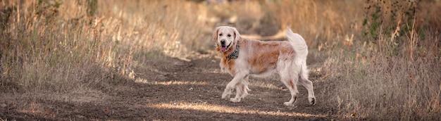 Golden retriever pies sobie szalik na szyi w jesiennej żółtej trawie. rasowy labrador zwierzęcy spacerujący na świeżym powietrzu w przyrodzie